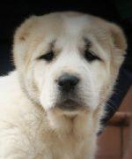 Щенки, рожденные 31 марта 2016 от Туркмен Кала Райдаш и Туркмен Кала Найзы