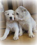 Щенки, рожденные 01 января 2016 от Туркмен Кала Гаплан и Ок-Шона для Туркмен Кала Роваят