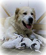 Щенки, рожденные 03 ноября 2016 от Чакан (вывоз из Туркмении, г. Мары) и  Туркмен Кала Ишли