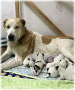 Щенки, рожденные 01 ноября 2017 от Чакана (вывоз из Туркмении, г. Мары) и Туркмен Кала Дымшик