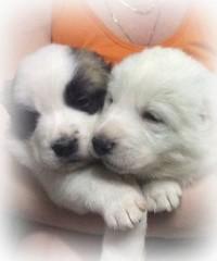 Щенки, рожденные 27 декабря 2016 от Туркмен Кала Сакар и Зейнаб (Бетти)