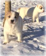 Щенки от Чакана (вывоз из Туркмении) и Туркмен Кала Байгуш, рожденные 05.12.2017 г.