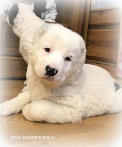 Алиментный щенок от Чакана и Айбет Ахал Юрт, рожденный 07.01.2018 г.