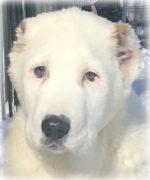 Алиментный щенок от Чакана и Ачак Асы Чинар, рожденный 01.11.2017 г.